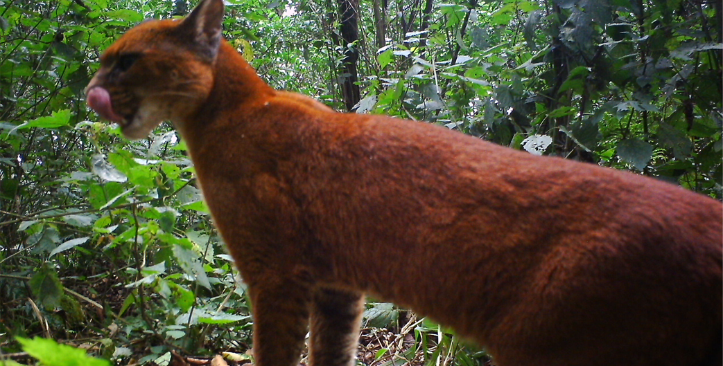 African Golden Cat in Bwindi